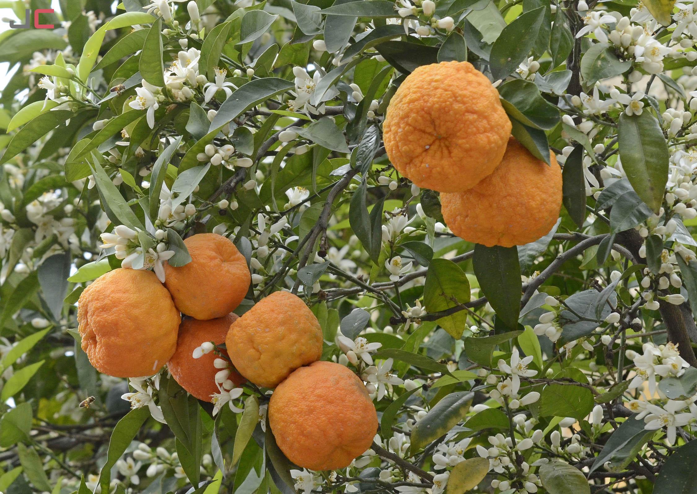 درخت بهار نارنج